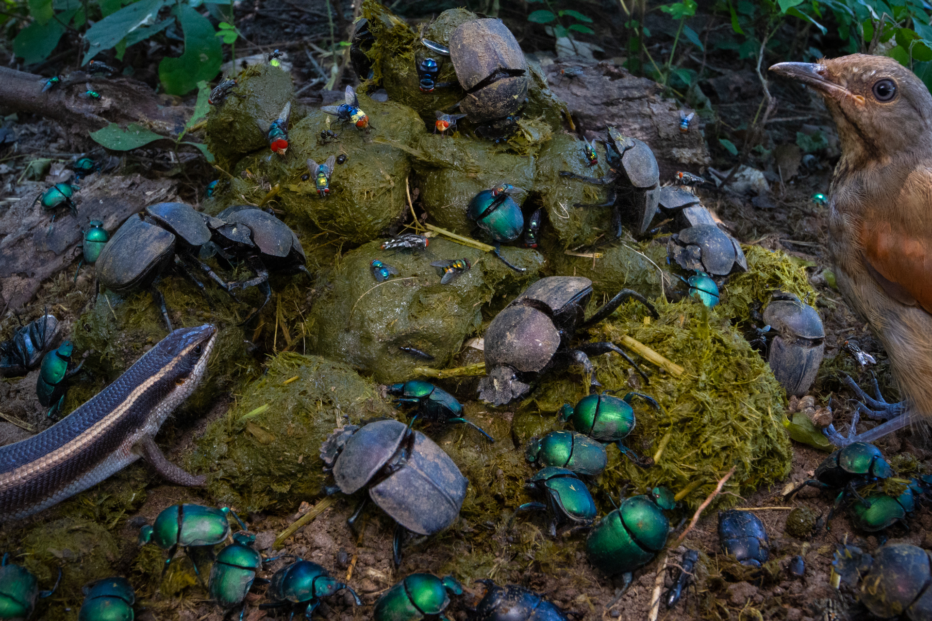 Dung beetles captured by Jen Guyton