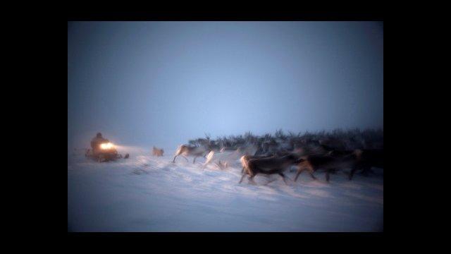 Snowmobiler Herding Reindeer