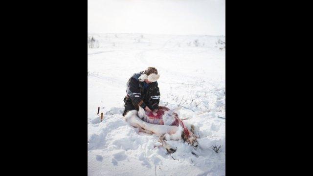 Gutting a Reindeer