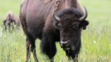 Rescued from near extinction, the American Bison is now a familiar site in America's grassy plains.