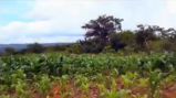 Cornfields hold the promise of continued sustainable development in the Republic of Malawi, Africa.